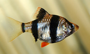 This image shows a Tiger barb (Puntius tetrazona).