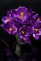 Purple Crocus Dark (4532262732).jpg
