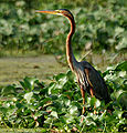 Purple Heron (Ardea purpurea) in Kolleru, AP W IMG 4047.jpg