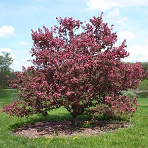Purple Prince Crabapple, Malus 'Purple Prince,...