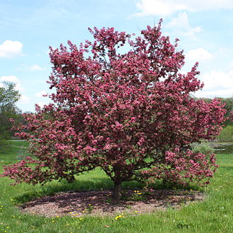 Malus - Image: Purple prince crabapple tree