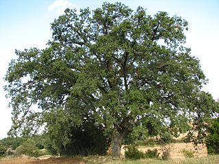 <i>Quercus faginea</i> Species of oak tree