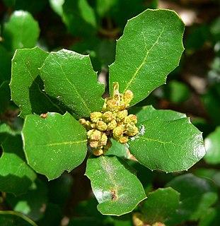 <i>Quercus pacifica</i> species of plant