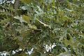 Quercus pagoda (23815074859).jpg