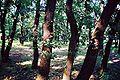 Quercus pubescens060.jpg