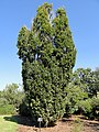Quercus robur 'Fastigiata' - J. C. Raulston Arboretum - DSC06165.JPG
