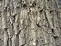 Quercus robur (5).JPG