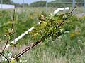 Quercus rubra - red oak 0094.jpg