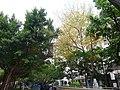 R7門外黃變的樹木 - panoramio.jpg