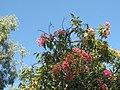 Rainbow Lorikeet (Trichoglossus moluccanus) Very beautiful but also very noisy. - panoramio.jpg