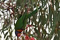 Rainbow Lorikeet (Trichoglossus moluccanus) at Adelaide Airport 2.jpg