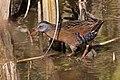 Rallus limicola -Cloisters Park, Morro Bay, California, USA-8.jpg