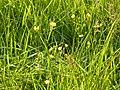 Ranunculus acris (5384211139).jpg