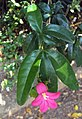 Ravenia spectabilis 01.JPG