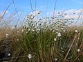 Recker Moor Eriophorum vaginatum 01.jpg