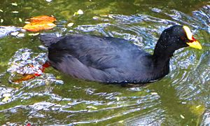 Red-gartered coot - Red-gartered coot at the Chilean National Zoo in Santiago, Chile
