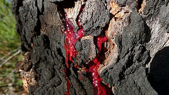 Bloodwood - Trunk of Corymbia gummifera with red bleeding (Kino)