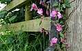 Red Campion on a gatepost at Rampisham - geograph.org.uk - 842393.jpg