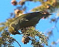 Red Crossbill (8203827567).jpg