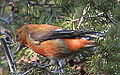 Red Crossbill (8203827595).jpg
