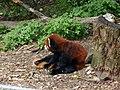 Red Panda 01.jpg