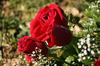 National symbols of Ecuador - Image: Red Roses