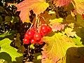 Red berries - Flickr - Stiller Beobachter (1).jpg