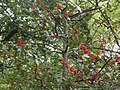 Red berries in Budapest City Park.jpg