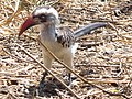 Red billed hornbill Tockus erythrorhynchus in Tanzania 3648 cropped Nevit.jpg