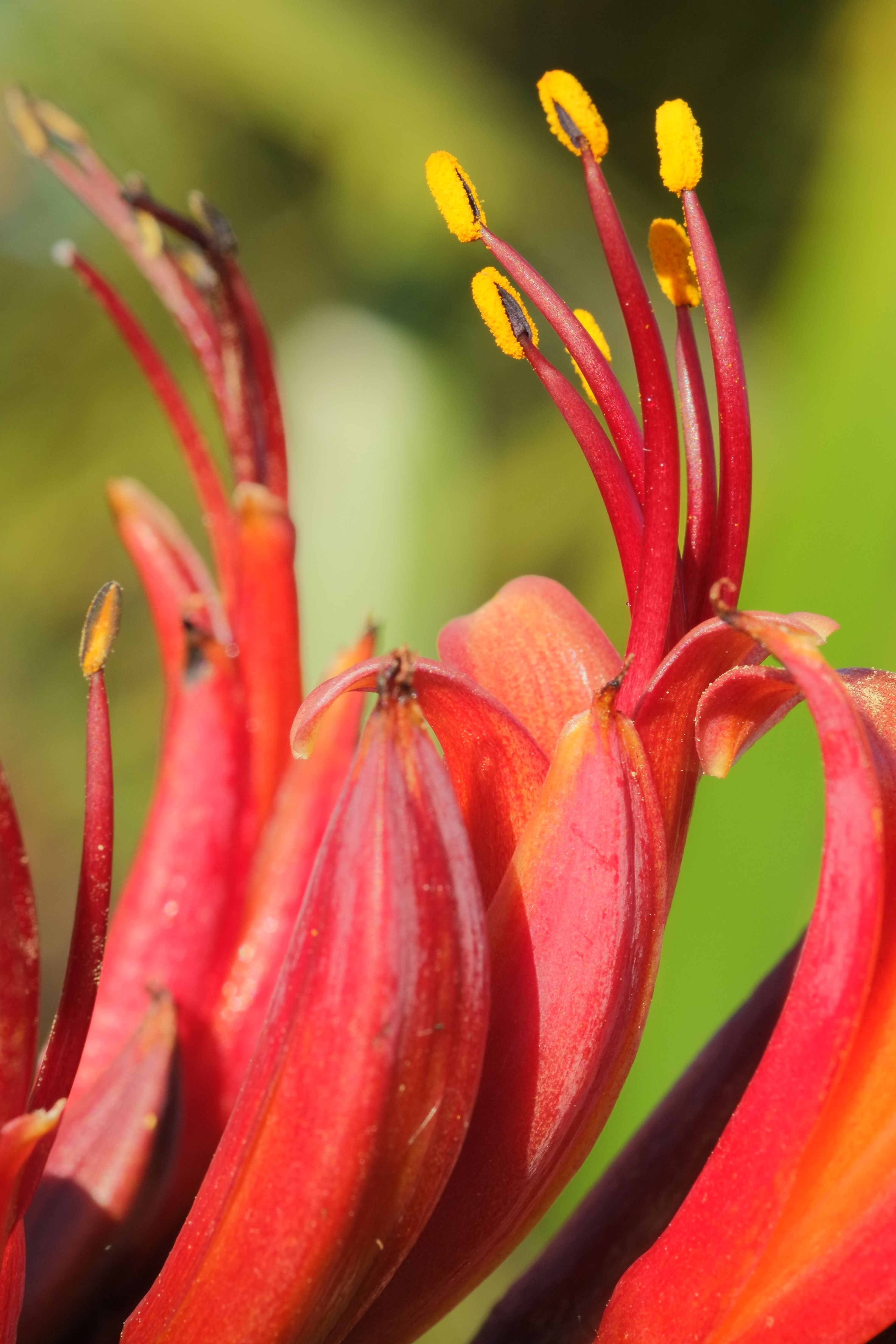 File Red Flowers Of New Zealand Flax Phormium Tenax Jpg Wikimedia Commons