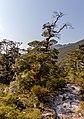 Red mistletoe along Cobb River Valley Track, Kahurangi National Park, New Zealand.jpg