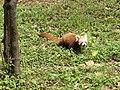Red panda in Darjeeling Zoo AJTJ P1110773.jpg