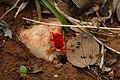 Red velvet mite Trombidiidae from kadapa Andhra Pradesh IMG 2430.jpg
