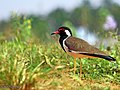 Red wattled Lapwing (Vanellus indicus) (23121009336).jpg