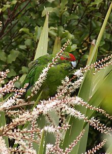 A parakeet eating small white flowers