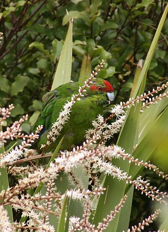 Cordyline australis - A kākāriki feeding on flowers of Cordyline australis on Tiritiri Matangi Island. The parakeets are often seen foraging in cabbage trees on the island