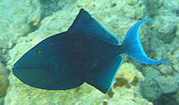 Redtoothed triggerfish