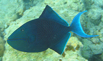 Triggerfish - The redtoothed triggerfish is one of the relatively few planktivores of the family.