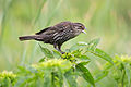 Redwinged Blackbird f 7360.jpg