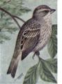 Reed-lincolns-sparrow.png