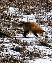 الثعلب الاحمر 220px-Renard_roux_(c