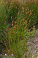 Restio (Askidiosperma andreaeanum) (32956491105).jpg