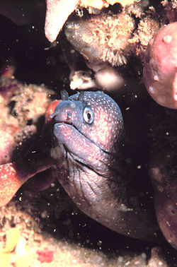 Reticulated moray eel.jpg