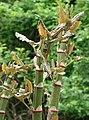 Reynoutria japonica5.jpg
