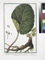 Rhabarbarum forte Dioscoridis, et Antiquorum - Rabarbero - Rubarbe - Rhubarb (NYPL b14444147-1124962).tiff