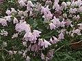 Rhododendron cv. Kiev Grishko 07.jpg