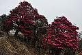 Rhododendron in full bloom! (8620051426).jpg