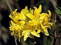 Rhododendron luteum (flower2).jpg