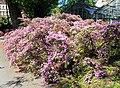 Rhododendron molle Prague 2014 1.jpg