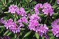 Rhododendron ponticum (3).jpg